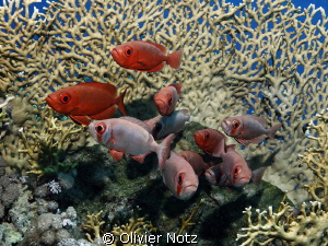 a group of bigeyes in front of a fire coral by Olivier Notz 